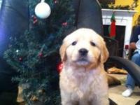 We have 2 sweet little male puppies available from a