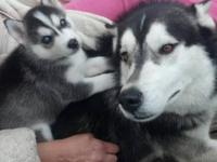 Beautiful Siberian Husky puppies, CKC registered. Five