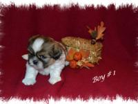 Registered CKC Shih Tzu puppies. 2 males & 1 female.