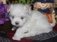 TINY TEACUP MALTESE!!! I have a 8 week old female