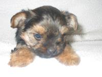 Adorable CKC registered Yorkie puppies, tails docked,
