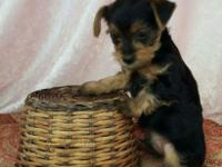 For sale I have 3 male Yorkshire Terrier puppies Ckc
