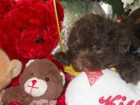 Adorable Shih-poo puppies, CKC registered, born