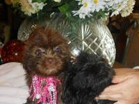 ADORABLE SHIH-POO PUPPIES, born 3/13/12, CKC
