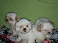Adorable CKC Purebred Shih-tzu puppies for adoption. In