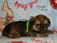 Stunning Shorkie Puppies. Both Parents have excellent