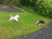 Beautiful CKC Husky puppies, want last long! Adult