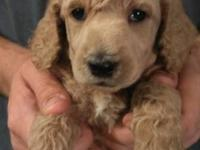 I have 1 Standard Poodle young puppy left from my
