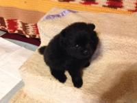 CKC POMERANIAN TEACUP PUPPY 8 WEEKS OLD LAST ONE. HAS