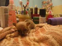 1 / 2 Adorable Ckc Teacup Size Male Chihuahua Pup