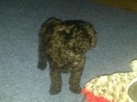 I have five CKC poodles for sale. I have a black male 8