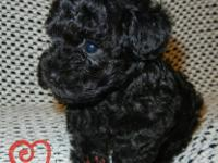 I have two adorable CKC Registered Tiny Toy Poodles