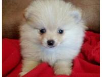 Beautiful TOY & TEACUP Pomeranian (Pom) Puppies.