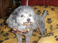 Adorable CKC Reg Toy Poodle puppies available 7/17/13.