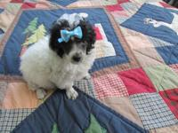 Adorable Toy Poodle Pups CKC Reg 10 wks old One blk and