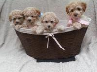 These charming apricot young puppies are full and