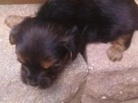 CKC REGISTERED YORKIE POO PUPPIES Billy Bob and Betty