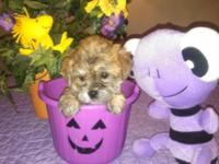 We have an adorable little CKC reg. male Yorkie-Chon