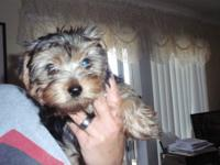 I have 3 females and 1 male CKC registered Yorkies..
