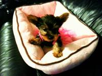 Very Cute CKC Silkshire Yorkie Pups. You will fall in