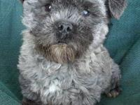 We have one 4 month old Male Shih-poo named Otto. $250