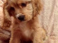 Loving and lovable male APRI registered Cocker Spaniel.