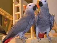 DNA Tested Adorable Congo African Grey Parrots Ready