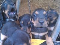 We have a litter of black and tan coonhound puppies.