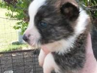 Beautiful corgi puppies. Ready to go . 350.00. Start