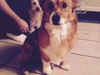 I HAVE 2 LITERS OF PEMBROKE CORGIS FOR SALE. THEY ARE