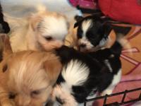Beautiful Shih Tzu puppies 2 females,2 males smoke free