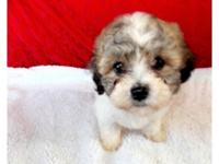 Macey is a curly F1B Shichon all set to go to her new