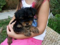 Beautiful & small, little female yorkie puppy! She is