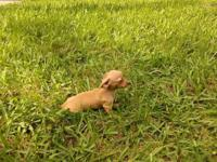 Two absolutely adorable mini dachshund and toy