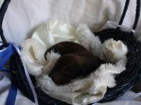 We have a stunning litter of 6 Dachshund puppies.