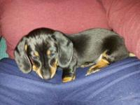 "Adorable Dachshund ""wiener"" puppy to LOVING home! She"