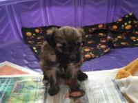 This adorable little lady is hypo allergenic and