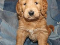 Adorable Dark Apricot Goldendoodle puppy - female. Born