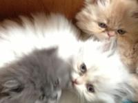 Doll face persian kittycats that are prepared to go to