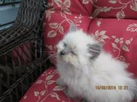 I have 2 grey male Doll Faced Persian kittens and one