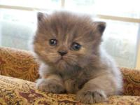 4-1-13 We have a litter of adorable Persian kittens