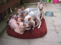 "Adorable hairless ""rubber bald"" Don Sphynx kittens are"