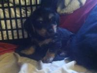 "8 week old male ""dorkie"" yorkie/daschund mix. He is"