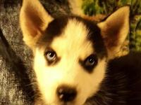 I have a adorable, beautiful female siberian husky