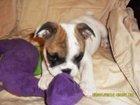 I have Adorable AKC English Bulldog young puppies for
