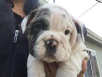 Pure bread, AKC Papered English Bulldog puppies for