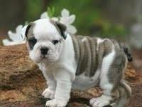 ADORABLE ENGLISH BULLDOG PUPPIES 12 weeks old