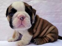 We at WB English bulldogs are Professional breeders of