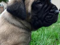 I have english Mastiff puppies. They are pure bred.