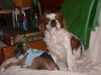 Angus is a four year old English Toy Spaniel who is